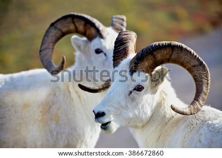 Two Dall's sheep in Denali national Park Alaska - stock photo