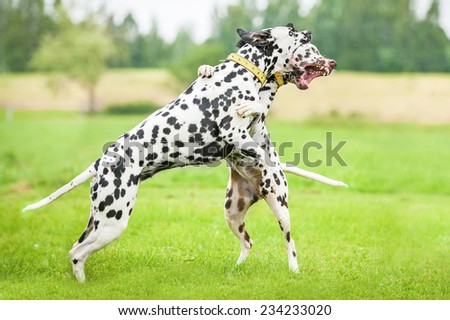 Two dalmatian dogs playing  - stock photo