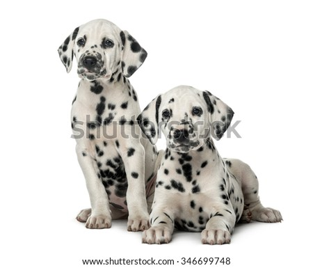 Two Dalmatian puppies in front of a white background - stock photo