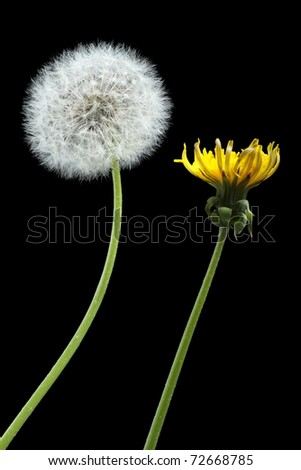 Two dandelions - blooming and dried, isolated on black - stock photo