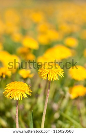 Two dandelions on a wide yellow field - stock photo
