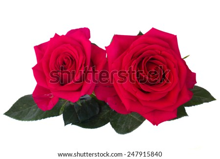 two dark pink roses isolated on white background - stock photo