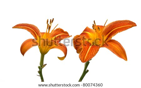 Two Day Lily Flowers Isolated on White - stock photo