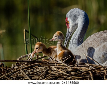 Two day old sandhill crane chicks with mom - stock photo