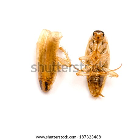 two dead cockroaches isolated on white background - stock photo