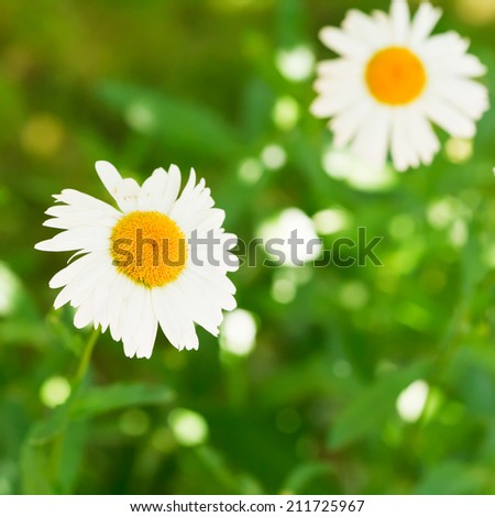 two decorative Ox-eye daisy flowers on green lawn