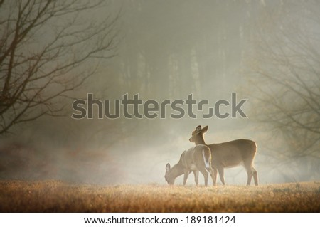 Two deer grazing in the morning sun. - stock photo