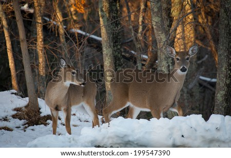 Two deer standing in the snow on the edge of the woods in the Great Smoky Mountains National Park - stock photo