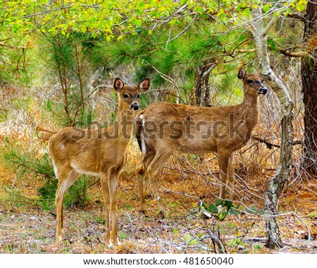 Two deer standing in woods in Assateague