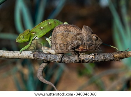 Two different colors of chameleon sitting on a branch. Madagascar. An excellent illustration.