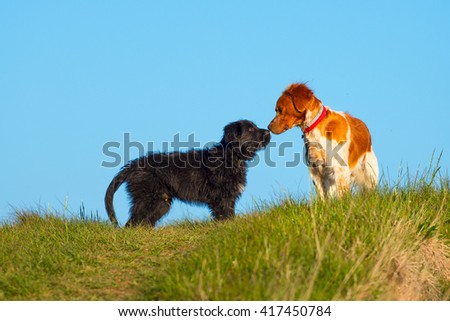 Two different dogs sniffing in a meadow - stock photo