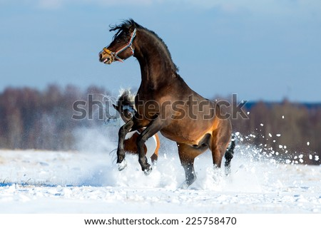 Two different horses get fun in the snow field in winter background, freedom. - stock photo