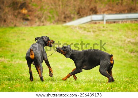 two doberman pinscher dog