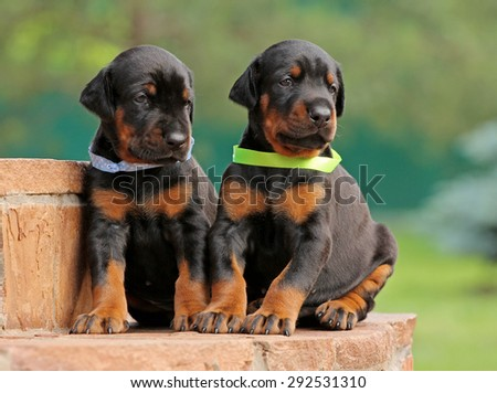 Two dobermann puppies on green background - stock photo