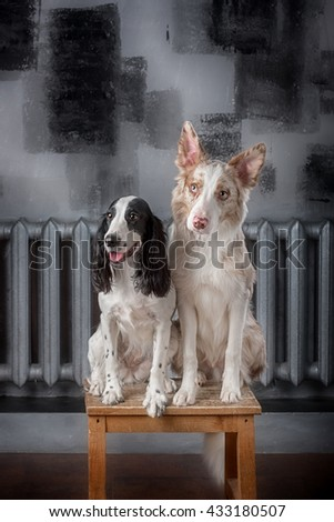 Two dog breeds Border collie and Russian Spaniel in studio