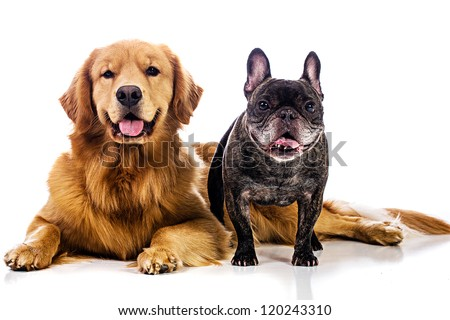 Two Dogs, a golden retriever and a French bulldog. - stock photo