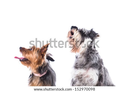 Two dogs, a Yorkie and a schnauzer, sitting looking up into the air towards blank white copyspace with alert expressions - stock photo