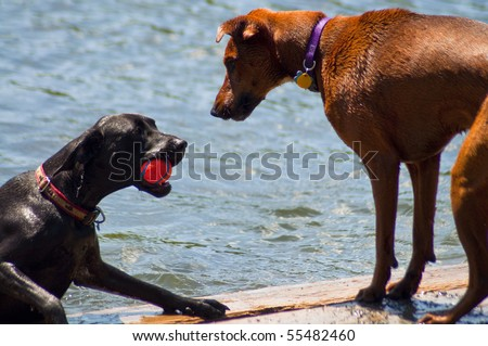Two dogs at a dog park playing with a red ball in the water. One dog comes out of the water with ball while the other waits to play. - stock photo