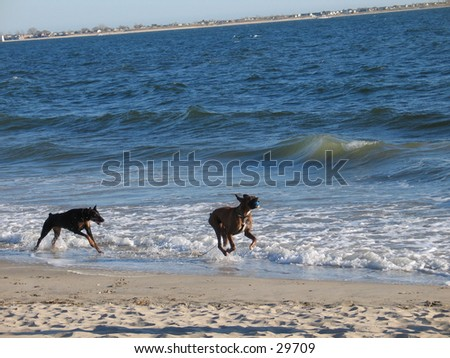 Two dogs at the beach, chasign each other - stock photo