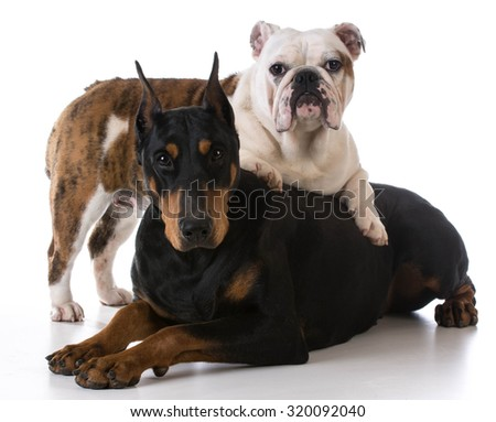 two dogs - bulldog and doberman together on white background - stock photo