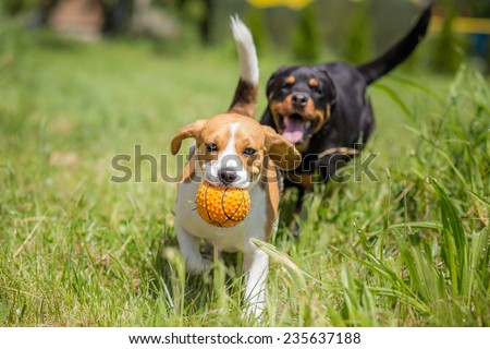 Two dogs chasing a ball - stock photo