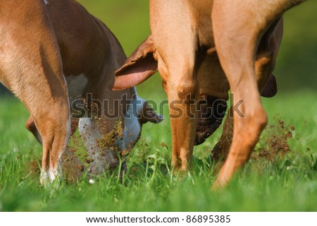 two dogs digging in the soil