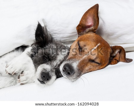 two dogs in love sleeping together in bed - stock photo