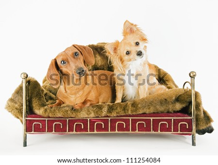 Two dogs in the studio - stock photo