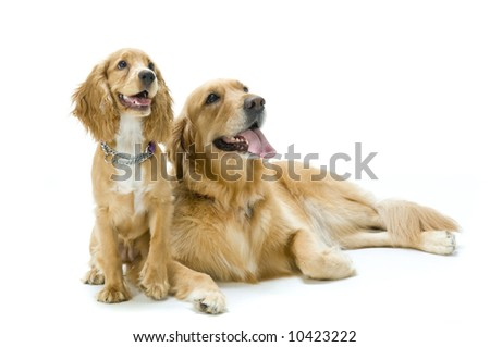 Two dogs in the studio together - stock photo