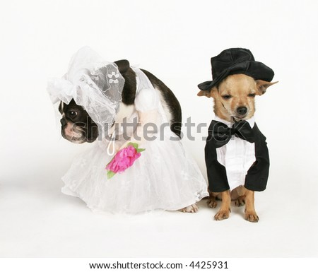 two dogs in wedding attire getting married - stock photo