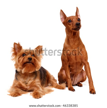 Two dogs isolated on the white background
