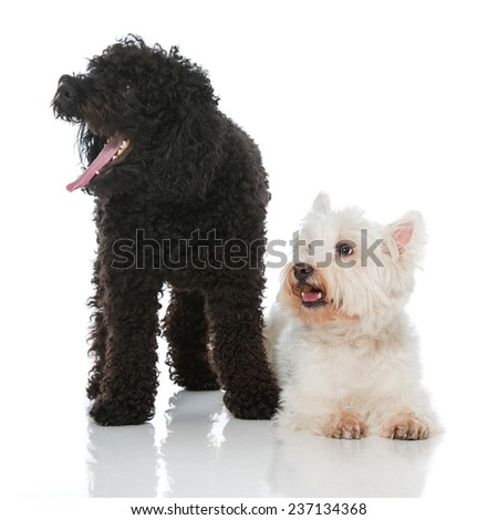 Two dogs isolated on white - stock photo