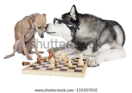 two dogs (Italian greyhound and Siberian Husky) playing chess - stock photo
