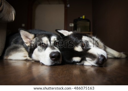 Two dogs lie on the floor. Alaskan Malamute resting.