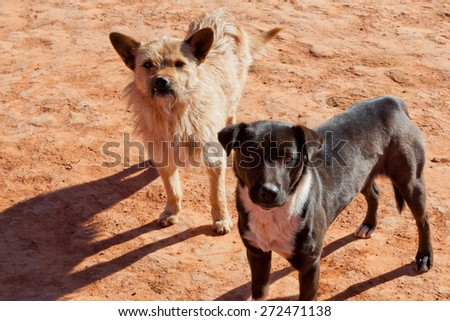 Two dogs living in the American Southwest come to greet visitors at Monument Valley, AZ with the morning sun casting long shadows in the red dirt.