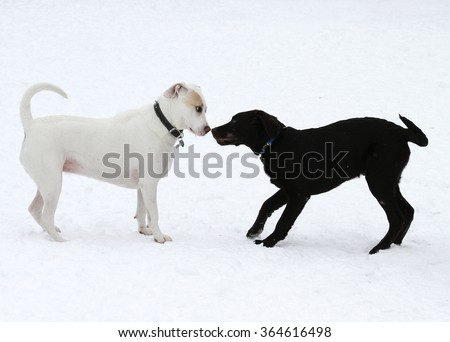 Two dogs meeting and getting acquainted on winter day - stock photo