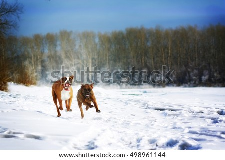 two dogs of breed boxer fun run in the winter in nature, chasing each other over the white snow