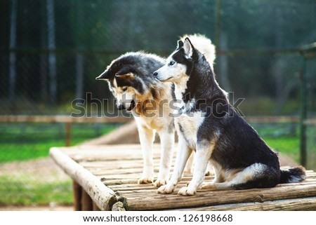Two dogs of breed Husky on wooden platform in the aviary.