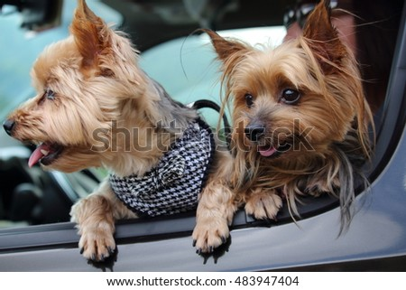Two dogs of Yorkshire terrier look out from the car window.