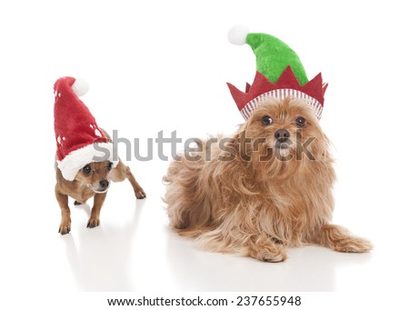 Two dogs - one wearing a Santa hat and the other wearing an elf hat.  Isolated on white.