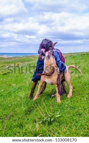Two dogs play over the grass and the sea is behind - stock photo
