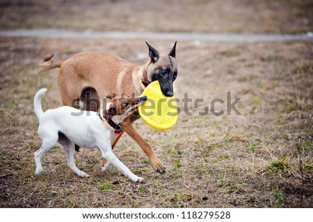Two dogs play with toy disc together - stock photo
