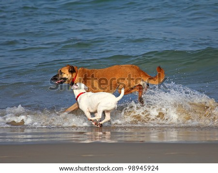 Two dogs playing and splashing in water at the beach - stock photo