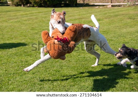 Two dogs playing chase over a teddy bear.