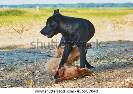 Two dogs playing in summer. - stock photo