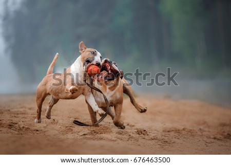 two dogs playing on the beach with a toy. The American bulldog and the bull Terrier