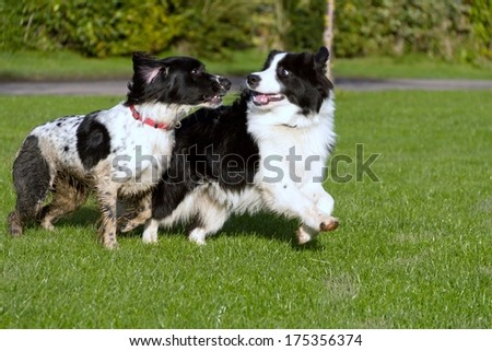 Two dogs playing together outdoors - stock photo