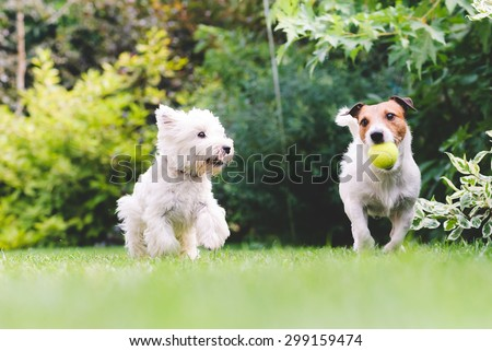 Two dogs playing with a ball.  - stock photo