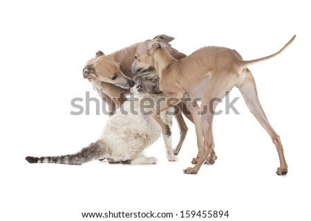 Two dogs playing with a cat on a white background in studio - stock photo