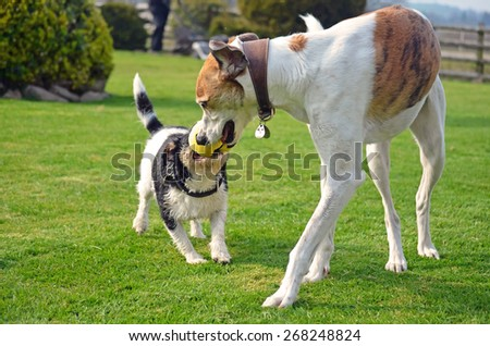 Two dogs playing with a toy in the garden - stock photo